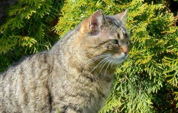 Kot na tle zielonego żywopłotu.